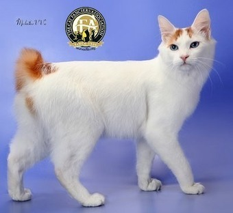 Cat Breed: Japanese Bobtail | Playful Kitty | Cats & Teapots | Scoop.it