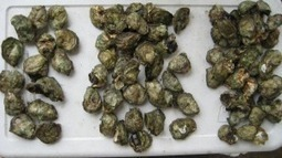 Acidifying oceans dramatically stunt growth of already threatened shellfish, research finds | Ocean Acidification | Scoop.it
