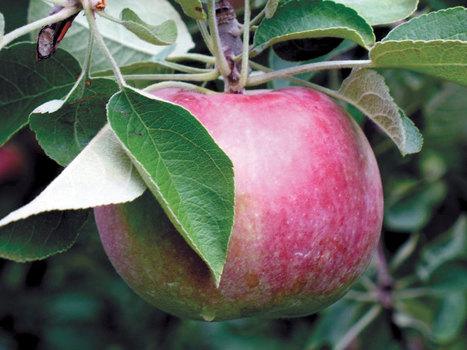 North Carolina apple growers take hit | Farm Carolina | North Carolina Agriculture | Scoop.it