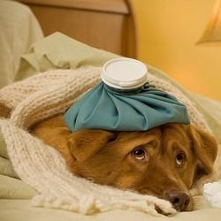 Quels vaccins pour votre animal, et à quelle fréquence ? - Soigner ...   chiens shetland   Scoop.it