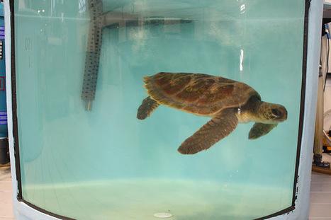 Marine Animal Rescue Team Blog: Hybrid the Hybrid! | Marine Biology | Scoop.it
