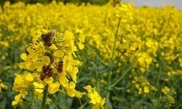 Banned pesticides pose a greater risk to bees than thought, EU experts warn | GarryRogers NatCon News | Scoop.it