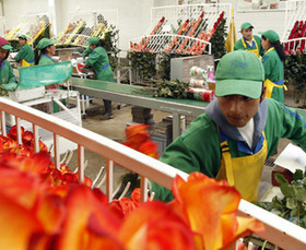There's a 1 in 12 Chance Your V-Day Flowers Were Cut by Child Laborers | Conviviando | Scoop.it