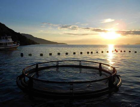 The Aquaculturists: 28/07/2015: Cobia: The next big thing? Australia   Global Aquaculture News & Events   Scoop.it