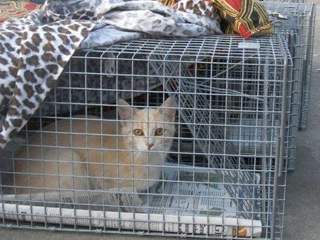 Trap/neuter programs help control feral cat population - Green Bay Press Gazette | Animal Rescue & Shelter Life | Scoop.it