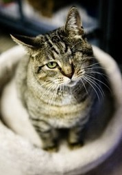 Queens Our City Radio Featured Cat For Adoption – Samantha (One Eye, FIV +) | Queens Our City Radio Featured Cat For Adoption | Scoop.it