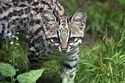This Tiger Cat Cub Is French And Named Chikita | Les chats c'est pas que des connards | Scoop.it