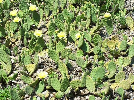 A Prickly Pear Dilemma To Clean Up Pollution : Discovery News | Invasive plants | Scoop.it