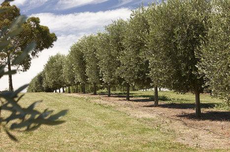 Olive oil Australia | Benefits of Olive Oil | Scoop.it