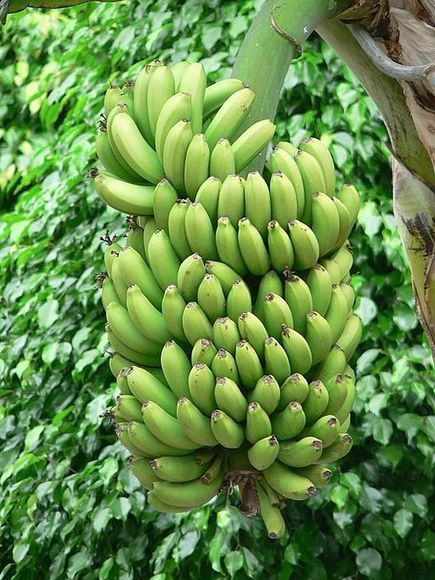 """Golden Bananas"" Enter U.S. Market Trials | cultivation | Scoop.it"