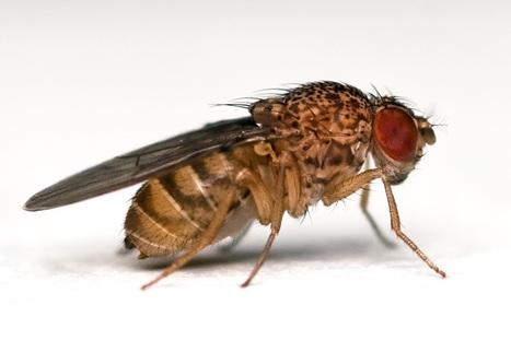 L'horloge biologique répond aux changements de température. Étude chez la mouche drosophile | EntomoNews | Scoop.it