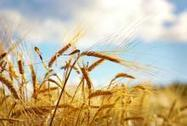 German planting switch means lower wheat harvest forecast | WHEAT | Scoop.it