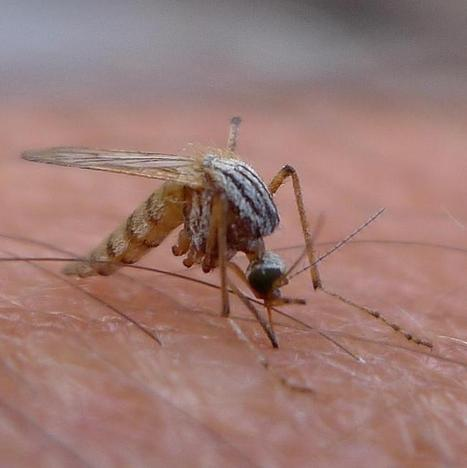 Genetically Modified Mosquitoes Will Guard the World Cup Against Dengue | VICE News | Tropical diseases | Scoop.it