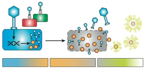Advancing bacteriophage-based microbial diagnostics with synthetic biology | Synbio | Scoop.it