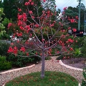 australian native plants: Flame Tree hybrids | Australian Plants on the Web | Scoop.it