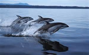 Mystery of the #killer #Dolphins ~ competition for #food | Rescue our Ocean's & it's species from Man's Pollution! | Scoop.it