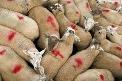 Fièvre catarrhale ovine: une étrange résurgence   Sécurité sanitaire des aliments   Scoop.it