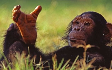 A step back in time: why so many of us walk like chimps | BIOSCIENCE NEWS | Scoop.it