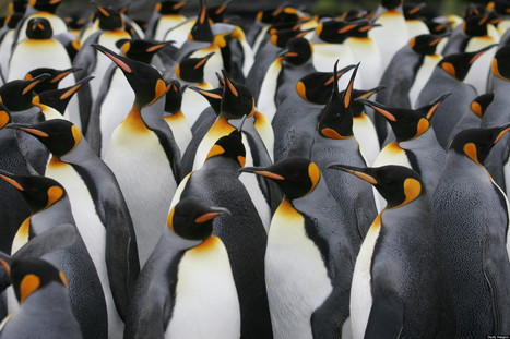 WATCH: '#Penguins Are Declining So Fast' | I Love Penguins | Scoop.it