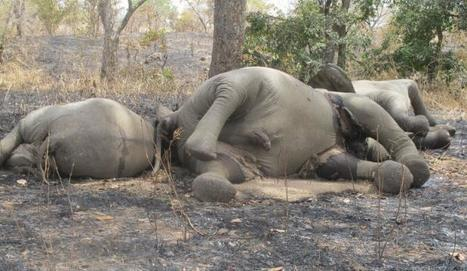 Cameroun: Plus de 500 éléphants tués dans le parc de Bouba Ndjidda - 20minutes.fr | SandyPims | Scoop.it