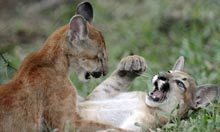 Building sustainable global research partnerships – and saving the puma | Life on Earth | Scoop.it