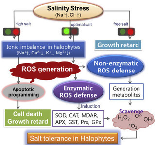 Oxidative defense metabolites induced by salinity stress in roots of Salicornia herbacea | Chimie verte et agroécologie | Scoop.it