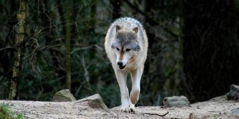 LORACTU.fr - Vosges: des défenseurs du loup veulent en empêcher le recensement | Loup | Scoop.it