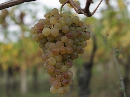 Verdicchio: the wine identity of Le Marche | Wines and People | Scoop.it