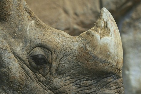 No, Legalizing Rhino Horn Probably Won't Save Animals from Poaching - Smithsonian (blog) | Save our Rhino and all animals...this is what it looks like!!!!! | Scoop.it