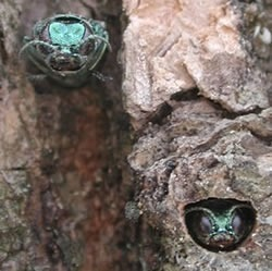 Lansing warns of emerald ash borer | Research from the NC Agricultural Research Service | Scoop.it