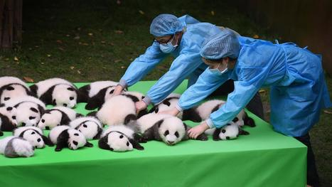 VIDEO. Vous n'avez jamais vu autant de bébés pandas réunis | Biodiversité | Scoop.it