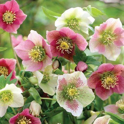 Royal Hellebore Mix | Springhill Nursery Gardening | Scoop.it