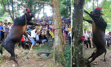 Pictured: Horrifying moment a live bull is hung from a tree until it dies for Chinese 'luck' festival | Nature Animals humankind | Scoop.it