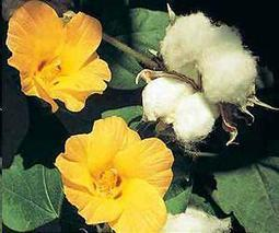 Reduced tillage doesn't mean reduced cotton yields under drip irrigation | Sustain Our Earth | Scoop.it