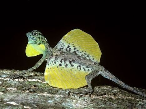 Draco Lizards, Draco Lizard Pictures, Draco Lizard Facts -- National Geographic   Draco Lizard   Scoop.it