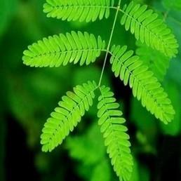 "Mimosa pudica ""Plante Sensitive"" Graines - Alsagarden | Jardinage | Scoop.it"