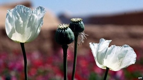 Afghan opium levels hit record high | #ECON1 | Scoop.it
