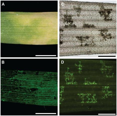 Front. Plant Sci. The development of quick, robust, quantitative phenotypic assays for describing the host–nonhost landscape to stripe rust (2015) | Publications from The Sainsbury Laboratory | Scoop.it