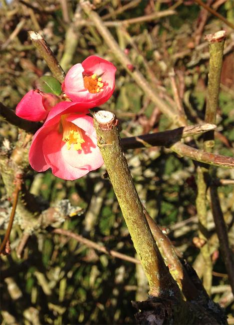 Aidez-nous à recenser les floraisons inhabituelles ! | Observatoire des Saisons | Biodiversité & Relations Homme - Nature - Environnement : Un Scoop.it du Muséum de Toulouse | Scoop.it