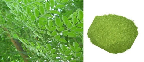 10 Sound Reasons Why Moringa Is Fundamental, | Spiritual Content With MoringaKing™ | Scoop.it