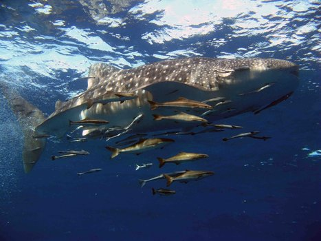 AWARE Shark Conservation. PADI donates your instructor fee to charity | Ocean News | Scoop.it