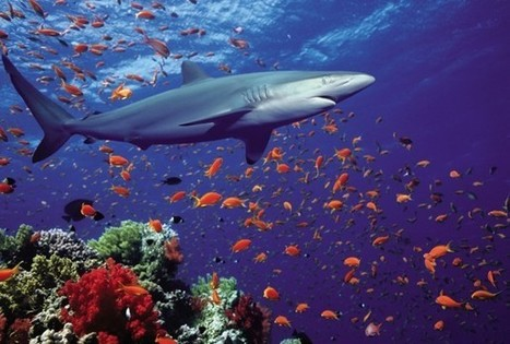 Shark fin soup contains endangered species, new analysis shows - The Washington Post | All about water, the oceans, environmental issues | Scoop.it