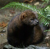 Weyerhaeuser commits three million acres in WA and OR to support the reintroduction of the North American Fisher | Timberland Investment | Scoop.it