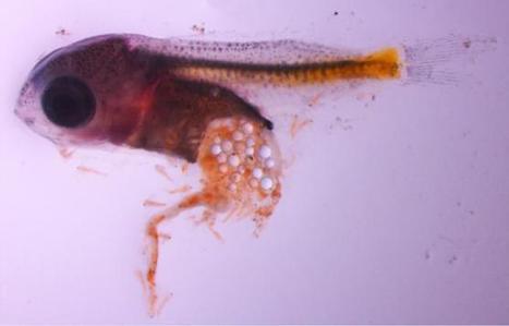 Los peces se hacen mortalmente adictos a comer plásticos   GEOGRAFIA, PAISATGE I MEDI AMBIENT   Scoop.it