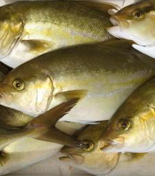 UNITED STATES: Aquaculture researchers raise Kampachi on zero fishmeal diets   aquaculture   Scoop.it