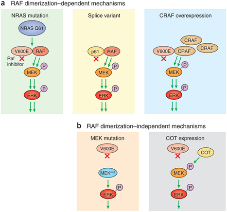 Tumor Adaptation and Resistance to RAF Inhibitors | Melanoma Research Digest | Scoop.it