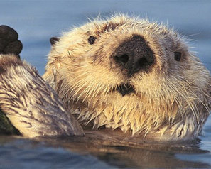 USA - Fishing industry groups challenge the 'no-otter' zone ban | World Geography: Fishing | Scoop.it