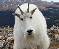 Mnt Goat Update for 5-1-14: Consequences for the RV Blockers | Global Financial Reset - Transition to Sanity | Scoop.it
