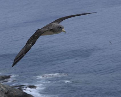 Des oiseaux marins retrouvent leur chemin grâce à leur odora | Espaces naturels littoraux | Scoop.it