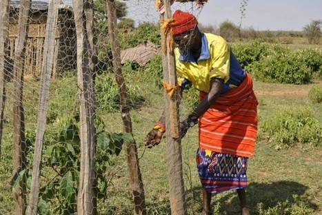 Kenyan Pastoralists Fighting Climate Change Through Food Forests   Lauri's Environment Scope   Scoop.it